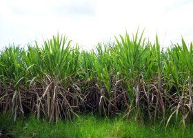 cultivo-azucar